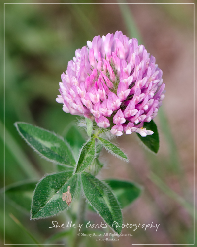 Red Clover. Copyright © Shelley Banks, all rights reserved.