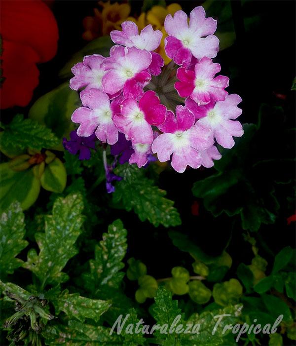 Variedad matizada de las flores de una verbena