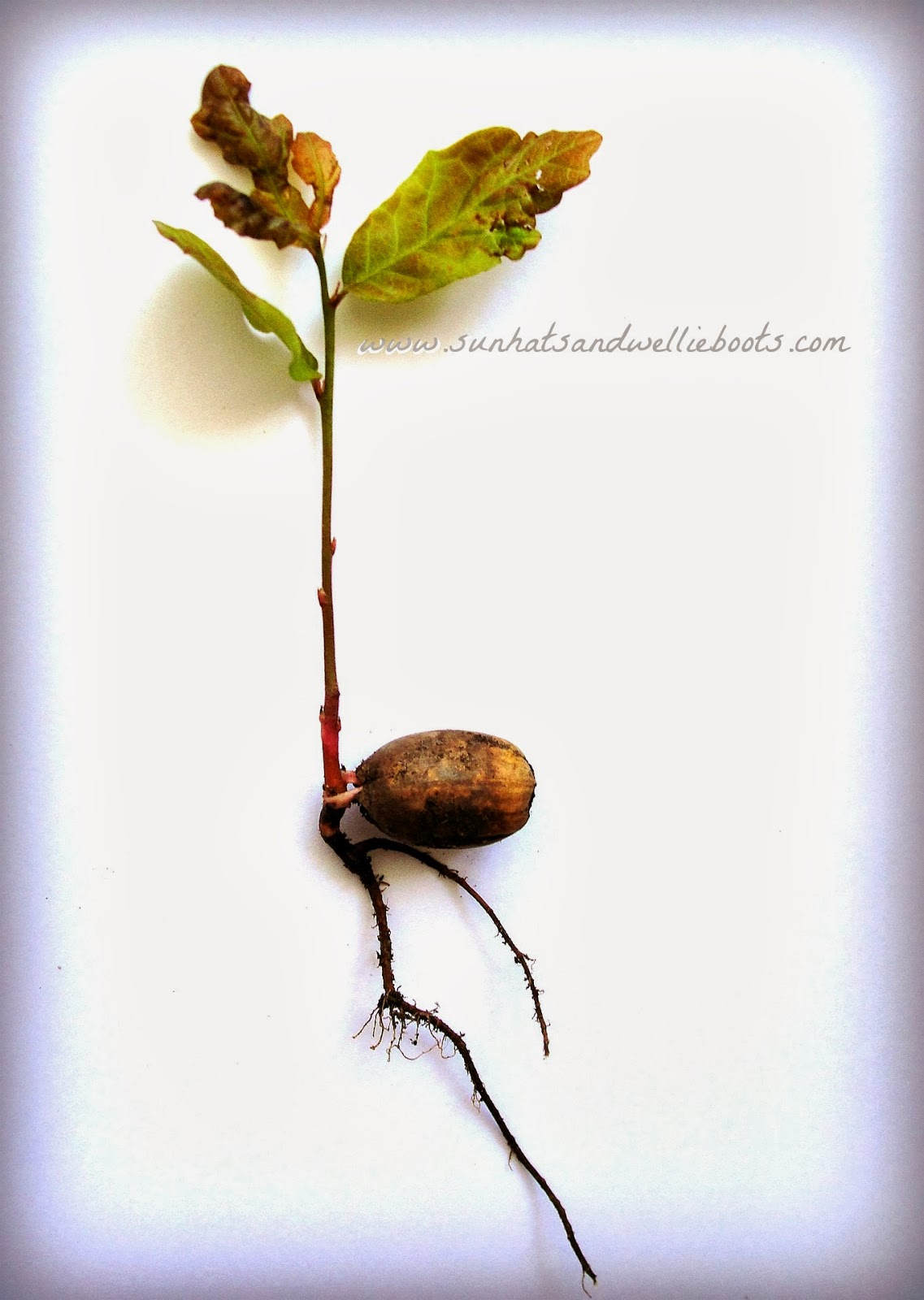 How to grow oak from acorn 4