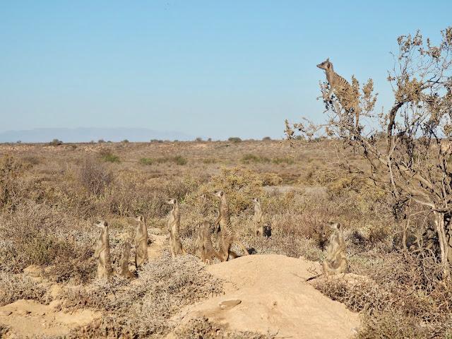 Meerkat Experience, Oudtshoorn, South Africa