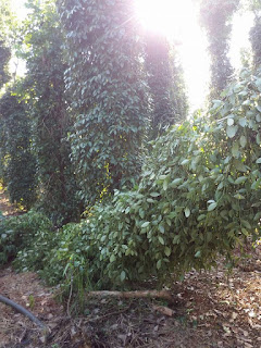 Nhiều vườn tiêu bị đốn bỏ tại Việt Nam