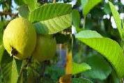 Obat diabetes herbal dari jambu biji
