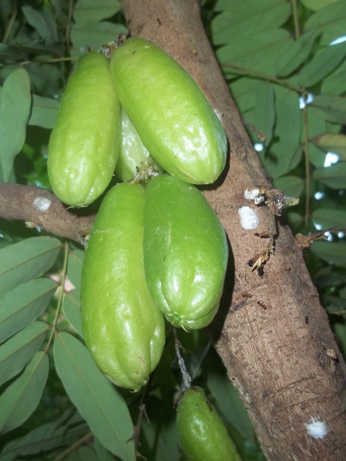 beriberi fruta
