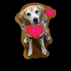 Lovely beagle dog, MiMi