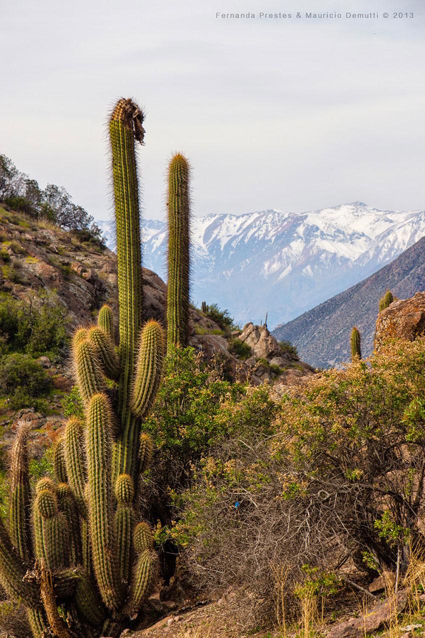 Los andes e cactus