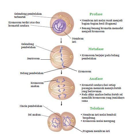 Ilmubio pembelahan sel secara mitosis 7 melewati tahapan pembelahan yaitu interfase profase metafase anafase dan telofase namun secara umum tahap tahap tersebut akan kembali ke tahap ccuart Choice Image