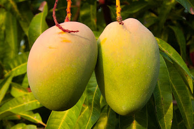 telling-ripeness-of-mango-without-having-to-taste-it
