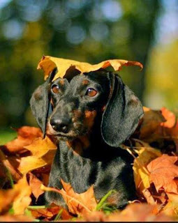 Image result for dachshund fall leaves