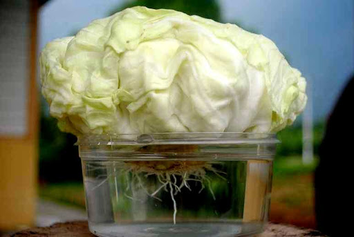 How to keep your cabbage fresh and crunchy for months without fridge!