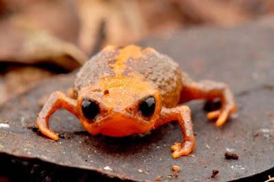 Brachycephalus quiririensisvive, espécie de sapo descoberta no Brasil, Frog, sapos, nova espécie, Santa Catarina, Serra do Quiriri, Conservação, natureza