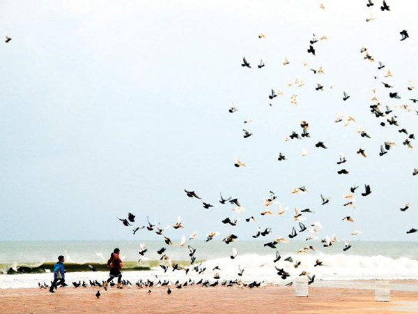 Vẻ đẹp của những cánh chim bồ câu bên bờ biển Đà Nẵng