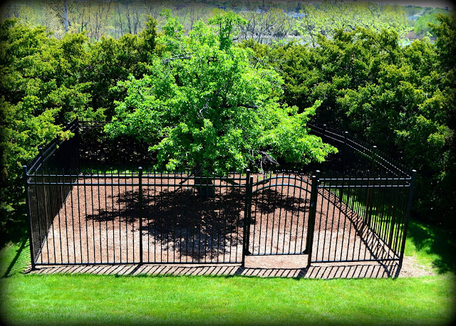 Endicott Pear Tree, Danvers, Massachusetts, shadow, fence, gate, pear, tree
