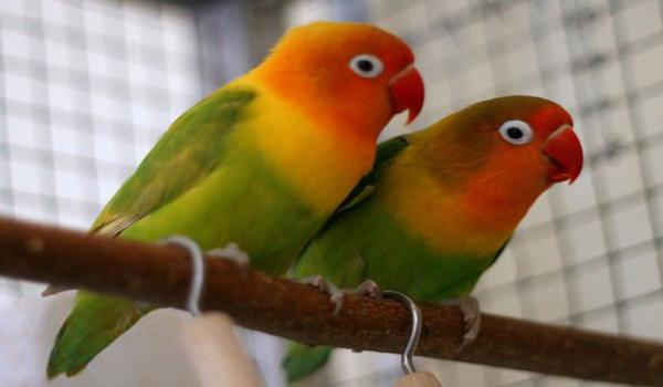 harga lovebird palamas