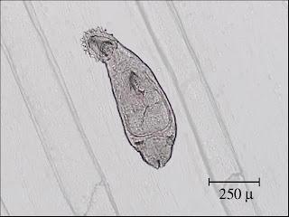 Gill Fluke, aquarium fish parasite