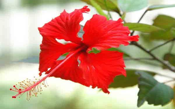 Image result for गुड़हल के फूल