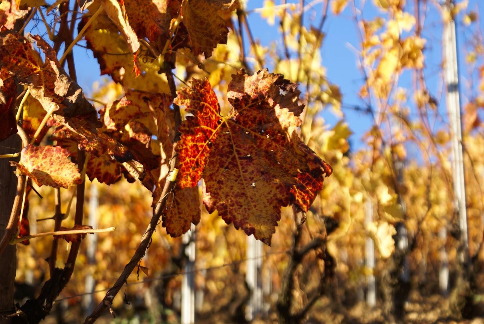 automne savoie feuilles nature vignes