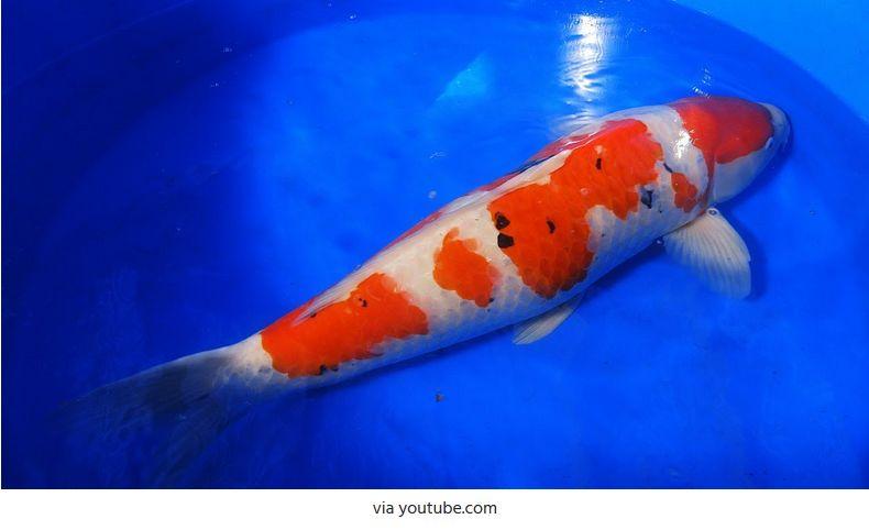 Jenis-Jenis Ikan Koi Taisho Sanke