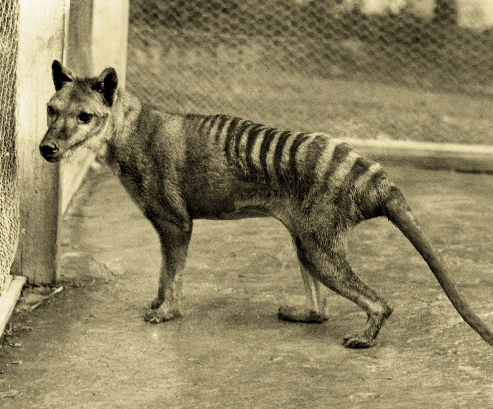 Centre for Fortean Zoology Australia: A Queensland Tiger ...