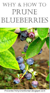 https://proverbsthirtyonewoman.blogspot.com/2018/01/why-and-how-to-prune-blueberries.html