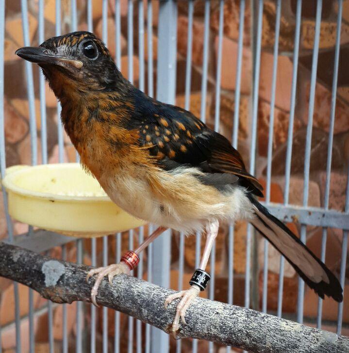 Cara Merawat Anakan Murai Batu Dari Trotol Hingga Dewasa Agar Menjadi Figter Sahabat Murai Batu Bird Sahabat Murai Batu Bird