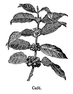coffee plant clipart illustration download antique botanical