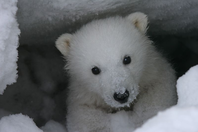 wandering brook polar bear cubs emerge from winter. Black Bedroom Furniture Sets. Home Design Ideas