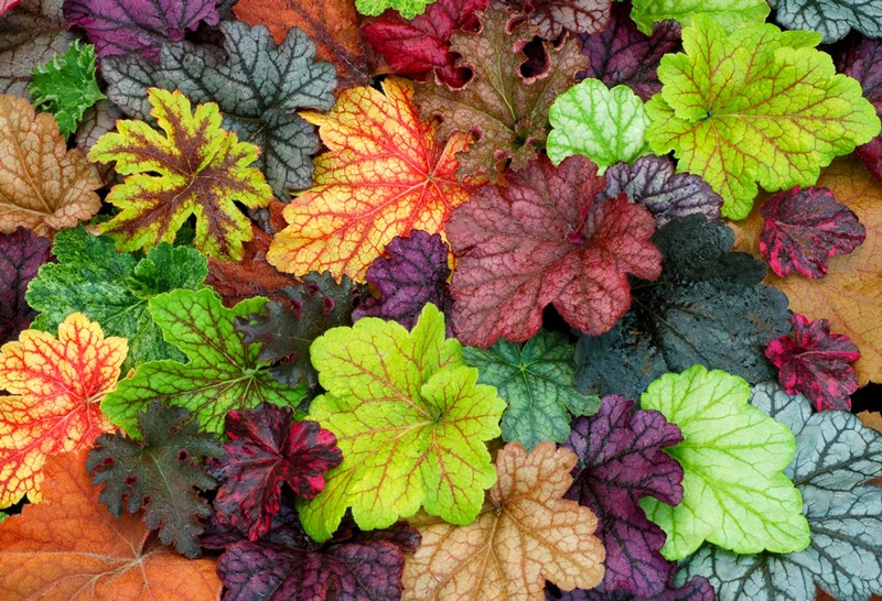 Heucheras Hostas For Shady Spots So in addition o Cultivar Cebollas En Casa as well Dining On Delicious Wild Foods Salmon With Poor Mans Pepper And Lambs Quarters together with Blog furthermore Adobong Takway. on growing onions