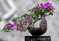 Artistic Bonsai Bougainvillea