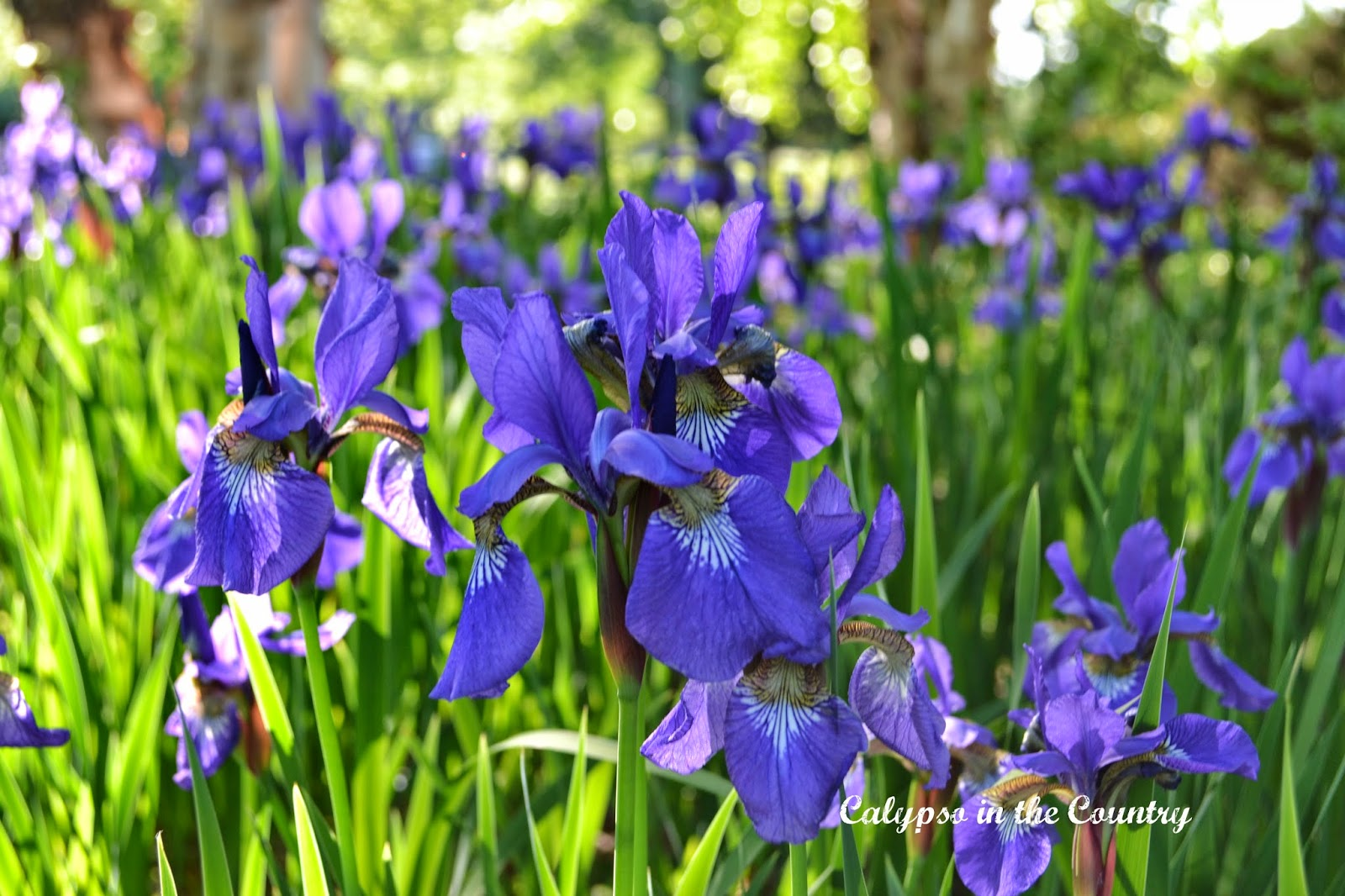 Purple Irises in bloom - love this time of year!