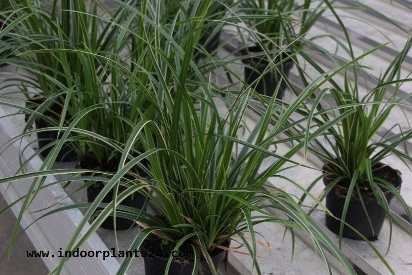 Indoor plant carex morrowii variegata cyperaceae for Oriental grass plants