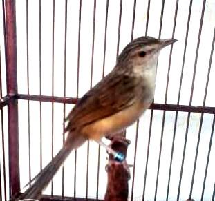 Lagi,suara burung ciblek gunung gacor