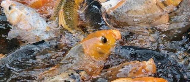 Klasifikasi Morfologi Ikan Mas (Cyprinus Carpio) Lengkap dengan Gambar