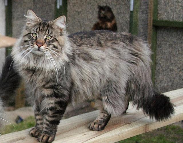 Norwegian Forest Cat salah satu jenis kucing yang paling mahal di dunia