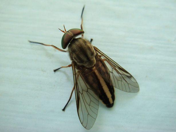 Horseflies: What To Do When Bitten By A Horsefly