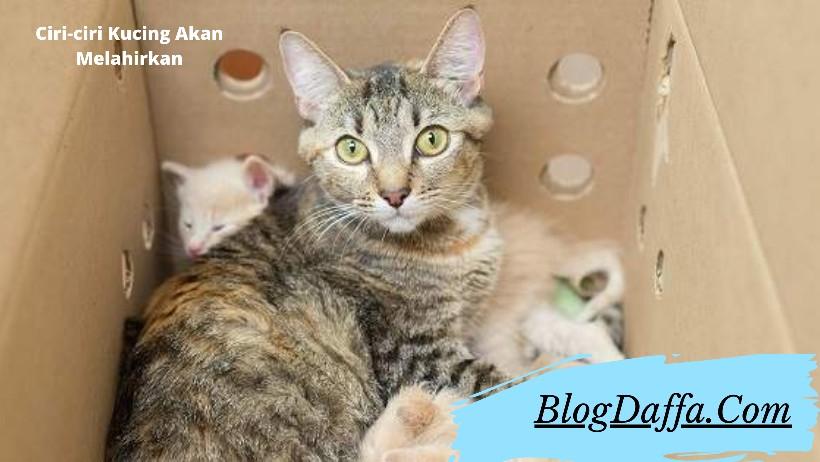 Ciri-ciri kucing akan melahirkan