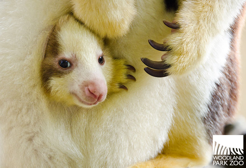 Woodland Park Zoo Blog: Tree roo joey emerges fully from pouch
