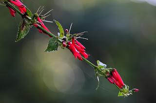 russelia sarmentosa