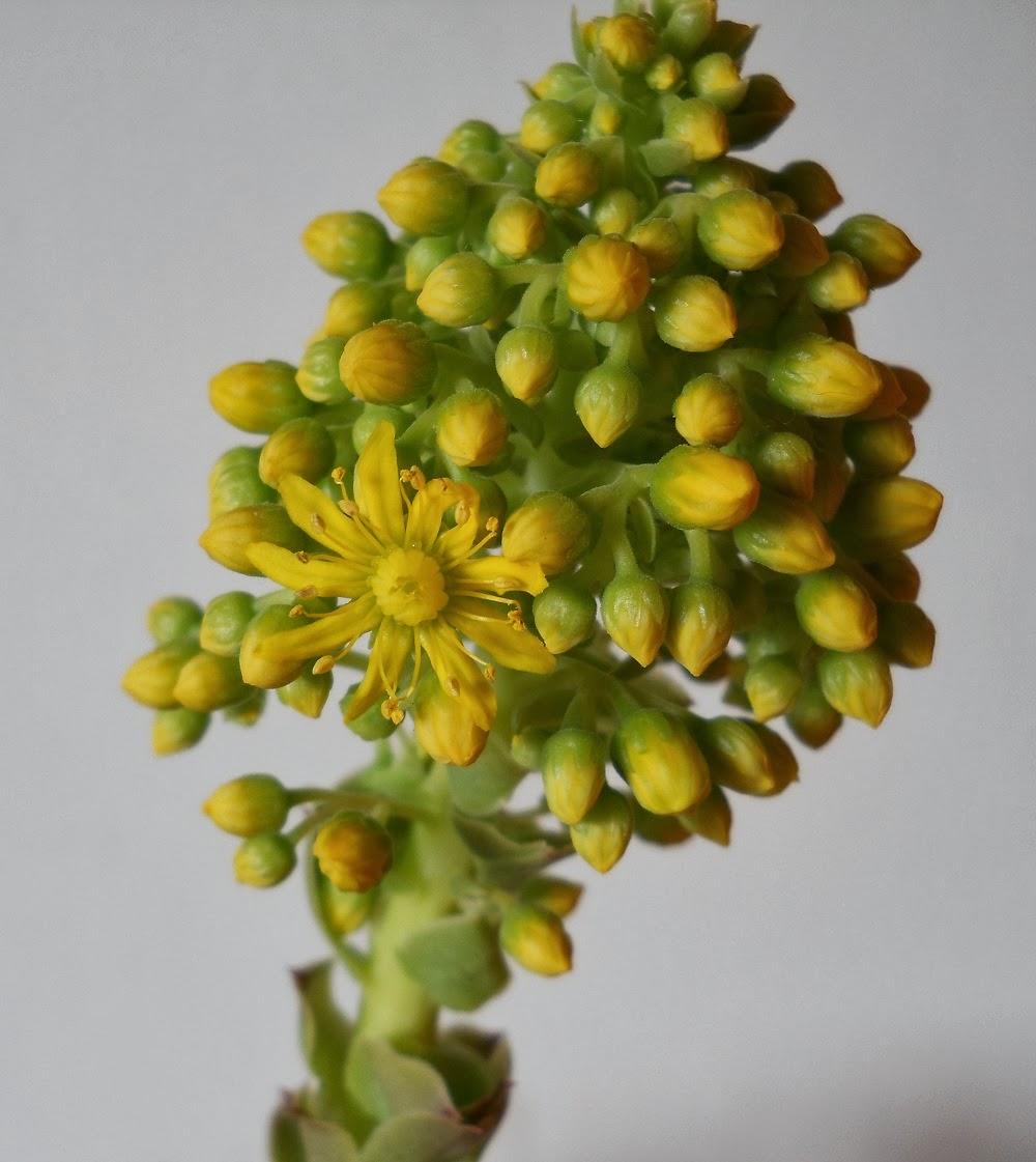 bejeque arbóreo con flor