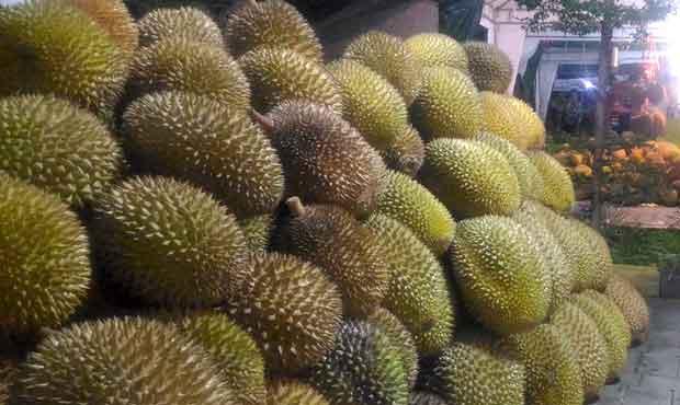 Tumpukan buah durian ini bisa dipilih dengan melihat dulu bentuk buahnya. Syarat utama, cari durian berbentuk bulat dengan diameter tangkai besar dan pendek. (Foto: BATUKITA.com)