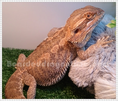 Bearded dragons care