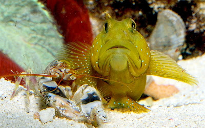 goby and blind shrimp relationship test