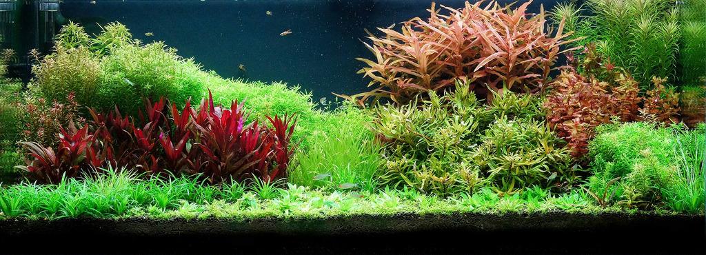 Huyết tam lan có màu sắc rất riêng trong bể thủy sinh