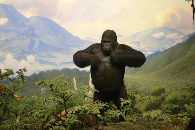 Горила. Американський музей природознавства, Нью-Йорк(American Museum of Natural History, NYC)