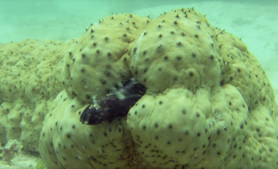 The pearl fish hides inside the sea cucumber to escape its enemies
