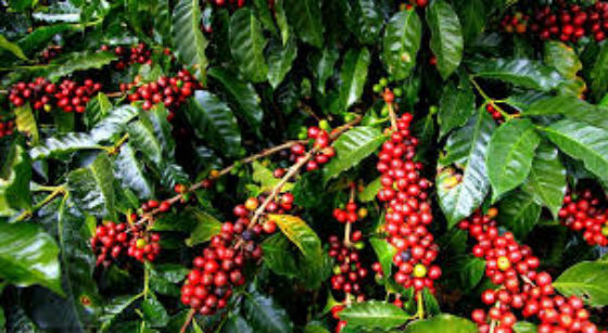 Budaya minum kopi kerinci
