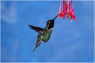 Hummingbird Facts, Amazing Animals Hummingbird Facts, Hummingbird Facts Amazing Fact