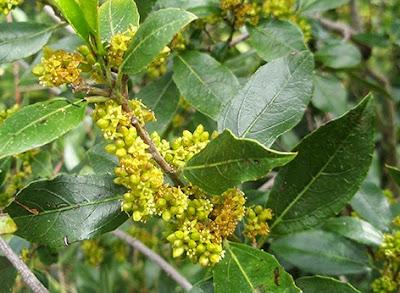 Flores amarillas del aladierno (Rhamnus alaternus)