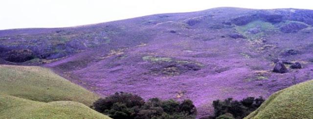 bukit Munnar yang dipenuhi Bunga Neelakurinji
