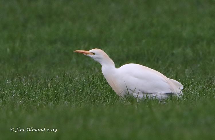 Great Egret On Prowl >> Shropshire Birder Ellesmere Cattle Egret