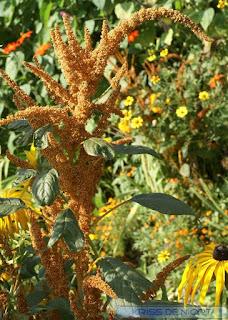 Amarante hypocondriaque - Amaranthe bronze - Amaranthus hypochondriacus